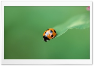 Ladybug On A Leaf HD Wide Wallpaper for 4K UHD Widescreen desktop & smartphone