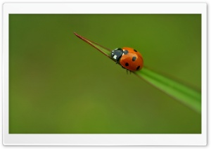 Ladybug On A Leaf HD Wide Wallpaper for Widescreen