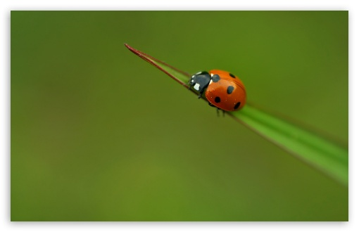 Ladybug On A Leaf ❤ 4K UHD Wallpaper for Wide 16:10 5:3 Widescreen WHXGA WQXGA WUXGA WXGA WGA ; 4K UHD 16:9 Ultra High Definition 2160p 1440p 1080p 900p 720p ; Standard 4:3 5:4 3:2 Fullscreen UXGA XGA SVGA QSXGA SXGA DVGA HVGA HQVGA ( Apple PowerBook G4 iPhone 4 3G 3GS iPod Touch ) ; Tablet 1:1 ; iPad 1/2/Mini ; Mobile 4:3 5:3 3:2 16:9 5:4 - UXGA XGA SVGA WGA DVGA HVGA HQVGA ( Apple PowerBook G4 iPhone 4 3G 3GS iPod Touch ) 2160p 1440p 1080p 900p 720p QSXGA SXGA ;