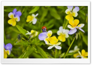 Ladybug On A Pansy HD Wide Wallpaper for 4K UHD Widescreen desktop & smartphone