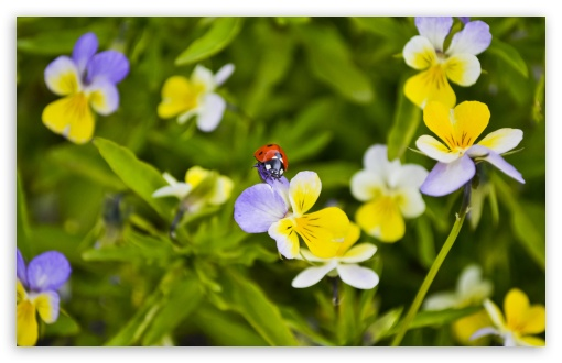 Ladybug On A Pansy HD wallpaper for Standard 4:3 5:4 Fullscreen UXGA XGA SVGA QSXGA SXGA ; Wide 16:10 5:3 Widescreen WHXGA WQXGA WUXGA WXGA WGA ; HD 16:9 High Definition WQHD QWXGA 1080p 900p 720p QHD nHD ; Other 3:2 DVGA HVGA HQVGA devices ( Apple PowerBook G4 iPhone 4 3G 3GS iPod Touch ) ; Mobile VGA WVGA iPhone iPad PSP Phone - VGA QVGA Smartphone ( PocketPC GPS iPod Zune BlackBerry HTC Samsung LG Nokia Eten Asus ) WVGA WQVGA Smartphone ( HTC Samsung Sony Ericsson LG Vertu MIO ) HVGA Smartphone ( Apple iPhone iPod BlackBerry HTC Samsung Nokia ) Sony PSP Zune HD Zen ; Tablet 2 Android ; Dual 4:3 5:4 16:10 5:3 16:9 UXGA XGA SVGA QSXGA SXGA WHXGA WQXGA WUXGA WXGA WGA WQHD QWXGA 1080p 900p 720p QHD nHD ;