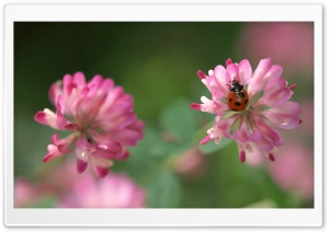 Ladybug On A Pink Clover Flower HD Wide Wallpaper for 4K UHD Widescreen desktop & smartphone