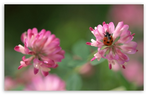 Ladybug On A Pink Clover Flower HD wallpaper for Wide 16:10 5:3 Widescreen WHXGA WQXGA WUXGA WXGA WGA ; HD 16:9 High Definition WQHD QWXGA 1080p 900p 720p QHD nHD ; Standard 3:2 Fullscreen DVGA HVGA HQVGA devices ( Apple PowerBook G4 iPhone 4 3G 3GS iPod Touch ) ; iPad 1/2/Mini ; Mobile 4:3 5:3 3:2 16:9 - UXGA XGA SVGA WGA DVGA HVGA HQVGA devices ( Apple PowerBook G4 iPhone 4 3G 3GS iPod Touch ) WQHD QWXGA 1080p 900p 720p QHD nHD ;