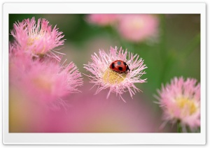 Ladybug On A Pink Flower HD Wide Wallpaper for 4K UHD Widescreen desktop & smartphone