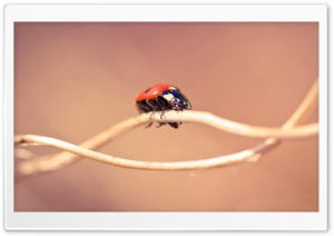 Ladybug On A Twig, Macro HD Wide Wallpaper for 4K UHD Widescreen desktop & smartphone