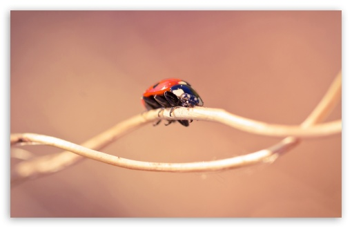 Ladybug On A Twig, Macro HD wallpaper for Wide 16:10 5:3 Widescreen WHXGA WQXGA WUXGA WXGA WGA ; HD 16:9 High Definition WQHD QWXGA 1080p 900p 720p QHD nHD ; Standard 4:3 5:4 3:2 Fullscreen UXGA XGA SVGA QSXGA SXGA DVGA HVGA HQVGA devices ( Apple PowerBook G4 iPhone 4 3G 3GS iPod Touch ) ; Tablet 1:1 ; iPad 1/2/Mini ; Mobile 4:3 5:3 3:2 16:9 5:4 - UXGA XGA SVGA WGA DVGA HVGA HQVGA devices ( Apple PowerBook G4 iPhone 4 3G 3GS iPod Touch ) WQHD QWXGA 1080p 900p 720p QHD nHD QSXGA SXGA ; Dual 16:10 5:3 16:9 4:3 5:4 WHXGA WQXGA WUXGA WXGA WGA WQHD QWXGA 1080p 900p 720p QHD nHD UXGA XGA SVGA QSXGA SXGA ;