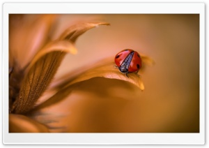 Ladybug On Brown Leaf HD Wide Wallpaper for Widescreen