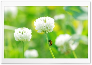 Ladybug On Clover Flower HD Wide Wallpaper for Widescreen