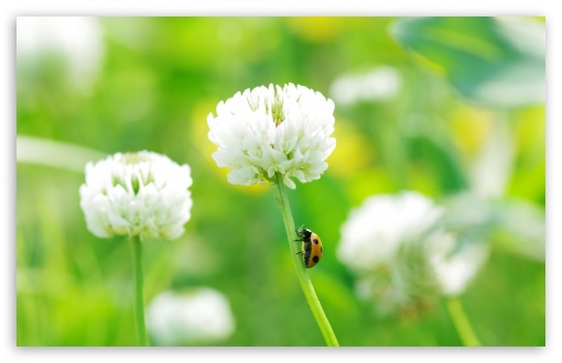 Ladybug On Clover Flower HD wallpaper for Wide 16:10 5:3 Widescreen WHXGA WQXGA WUXGA WXGA WGA ; HD 16:9 High Definition WQHD QWXGA 1080p 900p 720p QHD nHD ; Standard 4:3 5:4 3:2 Fullscreen UXGA XGA SVGA QSXGA SXGA DVGA HVGA HQVGA devices ( Apple PowerBook G4 iPhone 4 3G 3GS iPod Touch ) ; Tablet 1:1 ; iPad 1/2/Mini ; Mobile 4:3 5:3 3:2 16:9 5:4 - UXGA XGA SVGA WGA DVGA HVGA HQVGA devices ( Apple PowerBook G4 iPhone 4 3G 3GS iPod Touch ) WQHD QWXGA 1080p 900p 720p QHD nHD QSXGA SXGA ; Dual 4:3 5:4 UXGA XGA SVGA QSXGA SXGA ;