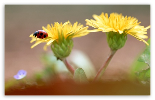 Ladybug On Dandelion Flowers ❤ 4K UHD Wallpaper for Wide 16:10 5:3 Widescreen WHXGA WQXGA WUXGA WXGA WGA ; 4K UHD 16:9 Ultra High Definition 2160p 1440p 1080p 900p 720p ; Standard 4:3 3:2 Fullscreen UXGA XGA SVGA DVGA HVGA HQVGA ( Apple PowerBook G4 iPhone 4 3G 3GS iPod Touch ) ; iPad 1/2/Mini ; Mobile 4:3 5:3 3:2 16:9 - UXGA XGA SVGA WGA DVGA HVGA HQVGA ( Apple PowerBook G4 iPhone 4 3G 3GS iPod Touch ) 2160p 1440p 1080p 900p 720p ;