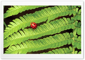 Ladybug On Fern HD Wide Wallpaper for 4K UHD Widescreen desktop & smartphone