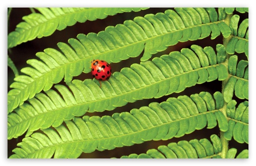 Ladybug On Fern HD wallpaper for Wide 16:10 5:3 Widescreen WHXGA WQXGA WUXGA WXGA WGA ; HD 16:9 High Definition WQHD QWXGA 1080p 900p 720p QHD nHD ; Standard 4:3 5:4 3:2 Fullscreen UXGA XGA SVGA QSXGA SXGA DVGA HVGA HQVGA devices ( Apple PowerBook G4 iPhone 4 3G 3GS iPod Touch ) ; Tablet 1:1 ; iPad 1/2/Mini ; Mobile 4:3 5:3 3:2 16:9 5:4 - UXGA XGA SVGA WGA DVGA HVGA HQVGA devices ( Apple PowerBook G4 iPhone 4 3G 3GS iPod Touch ) WQHD QWXGA 1080p 900p 720p QHD nHD QSXGA SXGA ;