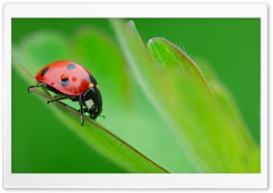 Ladybug On Leaf HD Wide Wallpaper for 4K UHD Widescreen desktop & smartphone