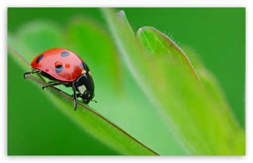Ladybug On Leaf ❤ 4K UHD Wallpaper for Wide 16:10 5:3 Widescreen WHXGA WQXGA WUXGA WXGA WGA ; 4K UHD 16:9 Ultra High Definition 2160p 1440p 1080p 900p 720p ; Standard 4:3 5:4 3:2 Fullscreen UXGA XGA SVGA QSXGA SXGA DVGA HVGA HQVGA ( Apple PowerBook G4 iPhone 4 3G 3GS iPod Touch ) ; Tablet 1:1 ; iPad 1/2/Mini ; Mobile 4:3 5:3 3:2 16:9 5:4 - UXGA XGA SVGA WGA DVGA HVGA HQVGA ( Apple PowerBook G4 iPhone 4 3G 3GS iPod Touch ) 2160p 1440p 1080p 900p 720p QSXGA SXGA ; Dual 16:10 5:3 16:9 4:3 5:4 WHXGA WQXGA WUXGA WXGA WGA 2160p 1440p 1080p 900p 720p UXGA XGA SVGA QSXGA SXGA ;