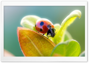 Ladybug On Leaf Top HD Wide Wallpaper for Widescreen