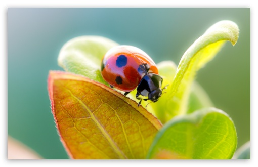 Ladybug On Leaf Top HD wallpaper for Wide 16:10 5:3 Widescreen WHXGA WQXGA WUXGA WXGA WGA ; HD 16:9 High Definition WQHD QWXGA 1080p 900p 720p QHD nHD ; UHD 16:9 WQHD QWXGA 1080p 900p 720p QHD nHD ; Standard 4:3 5:4 3:2 Fullscreen UXGA XGA SVGA QSXGA SXGA DVGA HVGA HQVGA devices ( Apple PowerBook G4 iPhone 4 3G 3GS iPod Touch ) ; Tablet 1:1 ; iPad 1/2/Mini ; Mobile 4:3 5:3 3:2 16:9 5:4 - UXGA XGA SVGA WGA DVGA HVGA HQVGA devices ( Apple PowerBook G4 iPhone 4 3G 3GS iPod Touch ) WQHD QWXGA 1080p 900p 720p QHD nHD QSXGA SXGA ; Dual 16:10 5:3 4:3 5:4 WHXGA WQXGA WUXGA WXGA WGA UXGA XGA SVGA QSXGA SXGA ;