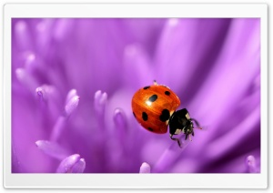 Ladybug On Purple Petals HD Wide Wallpaper for Widescreen