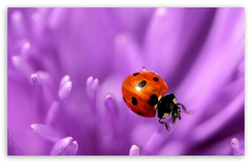 Ladybug On Purple Petals HD wallpaper for Wide 16:10 5:3 Widescreen WHXGA WQXGA WUXGA WXGA WGA ; HD 16:9 High Definition WQHD QWXGA 1080p 900p 720p QHD nHD ; Standard 4:3 5:4 3:2 Fullscreen UXGA XGA SVGA QSXGA SXGA DVGA HVGA HQVGA devices ( Apple PowerBook G4 iPhone 4 3G 3GS iPod Touch ) ; Tablet 1:1 ; iPad 1/2/Mini ; Mobile 4:3 5:3 3:2 16:9 5:4 - UXGA XGA SVGA WGA DVGA HVGA HQVGA devices ( Apple PowerBook G4 iPhone 4 3G 3GS iPod Touch ) WQHD QWXGA 1080p 900p 720p QHD nHD QSXGA SXGA ; Dual 16:10 5:3 4:3 5:4 WHXGA WQXGA WUXGA WXGA WGA UXGA XGA SVGA QSXGA SXGA ;
