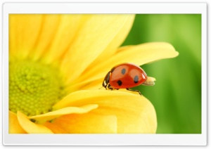 Ladybug On Yellow Flower, Macro Ultra HD Wallpaper for 4K UHD Widescreen desktop, tablet & smartphone