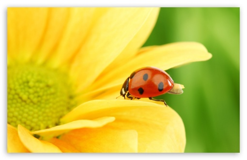 Ladybug On Yellow Flower, Macro HD wallpaper for Wide 16:10 5:3 Widescreen WHXGA WQXGA WUXGA WXGA WGA ; HD 16:9 High Definition WQHD QWXGA 1080p 900p 720p QHD nHD ; Standard 4:3 5:4 3:2 Fullscreen UXGA XGA SVGA QSXGA SXGA DVGA HVGA HQVGA devices ( Apple PowerBook G4 iPhone 4 3G 3GS iPod Touch ) ; Tablet 1:1 ; iPad 1/2/Mini ; Mobile 4:3 5:3 3:2 16:9 5:4 - UXGA XGA SVGA WGA DVGA HVGA HQVGA devices ( Apple PowerBook G4 iPhone 4 3G 3GS iPod Touch ) WQHD QWXGA 1080p 900p 720p QHD nHD QSXGA SXGA ;