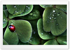 Ladybug Sitting On A Clover Leaf HD Wide Wallpaper for Widescreen