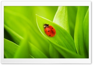 Ladybug Sleeping On A Green Leaf HD Wide Wallpaper for 4K UHD Widescreen desktop & smartphone