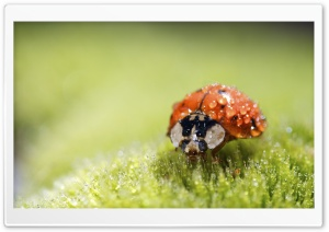 Ladybug Super Macro HD Wide Wallpaper for 4K UHD Widescreen desktop & smartphone