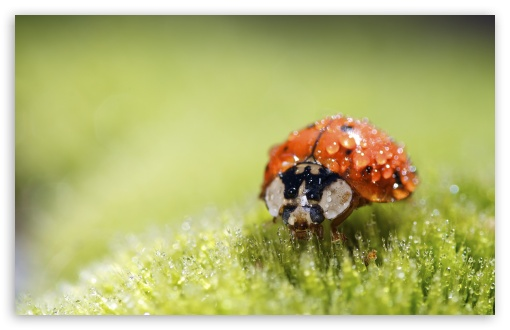 Ladybug Super Macro HD wallpaper for Wide 16:10 5:3 Widescreen WHXGA WQXGA WUXGA WXGA WGA ; HD 16:9 High Definition WQHD QWXGA 1080p 900p 720p QHD nHD ; Standard 4:3 5:4 3:2 Fullscreen UXGA XGA SVGA QSXGA SXGA DVGA HVGA HQVGA devices ( Apple PowerBook G4 iPhone 4 3G 3GS iPod Touch ) ; Tablet 1:1 ; iPad 1/2/Mini ; Mobile 4:3 5:3 3:2 16:9 5:4 - UXGA XGA SVGA WGA DVGA HVGA HQVGA devices ( Apple PowerBook G4 iPhone 4 3G 3GS iPod Touch ) WQHD QWXGA 1080p 900p 720p QHD nHD QSXGA SXGA ; Dual 16:10 5:3 4:3 5:4 WHXGA WQXGA WUXGA WXGA WGA UXGA XGA SVGA QSXGA SXGA ;