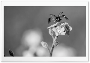 Ladybug Taking Flight Black and White HD Wide Wallpaper for Widescreen