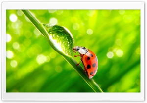 Ladybug WaterDrop HD Wide Wallpaper for Widescreen