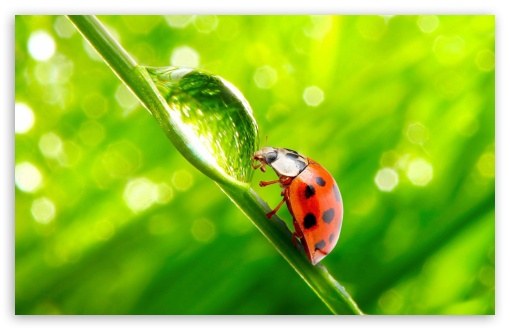 Ladybug WaterDrop HD wallpaper for Wide 16:10 5:3 Widescreen WHXGA WQXGA WUXGA WXGA WGA ; HD 16:9 High Definition WQHD QWXGA 1080p 900p 720p QHD nHD ; Standard 4:3 5:4 3:2 Fullscreen UXGA XGA SVGA QSXGA SXGA DVGA HVGA HQVGA devices ( Apple PowerBook G4 iPhone 4 3G 3GS iPod Touch ) ; Tablet 1:1 ; iPad 1/2/Mini ; Mobile 4:3 5:3 3:2 16:9 5:4 - UXGA XGA SVGA WGA DVGA HVGA HQVGA devices ( Apple PowerBook G4 iPhone 4 3G 3GS iPod Touch ) WQHD QWXGA 1080p 900p 720p QHD nHD QSXGA SXGA ;