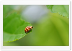 Ladybug With White Spots HD Wide Wallpaper for Widescreen