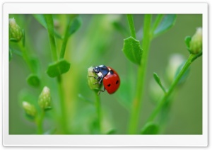 Ladybugs On Flowers HD Wide Wallpaper for Widescreen