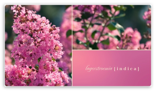Lagerstroemia Indica Crape Myrtle ❤ 4K UHD Wallpaper for 4K UHD 16:9 Ultra High Definition 2160p 1440p 1080p 900p 720p ;