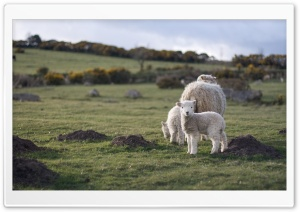 Lamb HD Wide Wallpaper for Widescreen