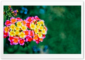 Lantana Bokeh HD Wide Wallpaper for Widescreen