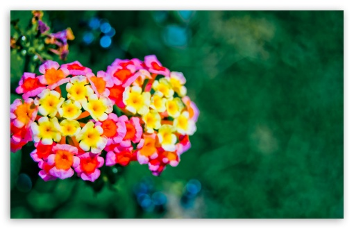 Lantana Bokeh HD wallpaper for Wide 16:10 5:3 Widescreen WHXGA WQXGA WUXGA WXGA WGA ; HD 16:9 High Definition WQHD QWXGA 1080p 900p 720p QHD nHD ; Standard 4:3 5:4 3:2 Fullscreen UXGA XGA SVGA QSXGA SXGA DVGA HVGA HQVGA devices ( Apple PowerBook G4 iPhone 4 3G 3GS iPod Touch ) ; Tablet 1:1 ; iPad 1/2/Mini ; Mobile 4:3 5:3 3:2 16:9 5:4 - UXGA XGA SVGA WGA DVGA HVGA HQVGA devices ( Apple PowerBook G4 iPhone 4 3G 3GS iPod Touch ) WQHD QWXGA 1080p 900p 720p QHD nHD QSXGA SXGA ; Dual 5:4 QSXGA SXGA ;