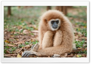 Lar Gibbon Primate Ultra HD Wallpaper for 4K UHD Widescreen desktop, tablet & smartphone