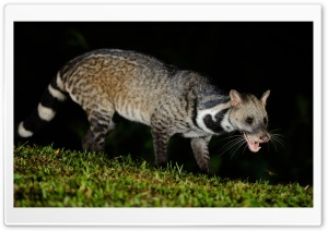 Large Indian Civet Ultra HD Wallpaper for 4K UHD Widescreen desktop, tablet & smartphone