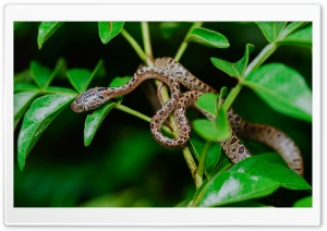 Large-spotted Cat Snake, Boiga Multomaculata, Tree Ultra HD Wallpaper for 4K UHD Widescreen desktop, tablet & smartphone