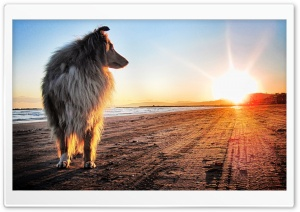 Lassie Dog HD Wide Wallpaper for 4K UHD Widescreen desktop & smartphone