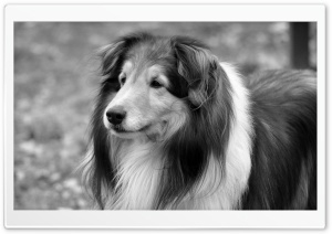 Lassie Dog HD Wide Wallpaper for Widescreen