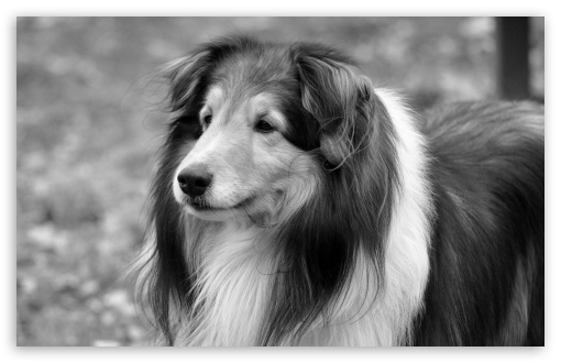 Lassie Dog HD wallpaper for Wide 16:10 5:3 Widescreen WHXGA WQXGA WUXGA WXGA WGA ; HD 16:9 High Definition WQHD QWXGA 1080p 900p 720p QHD nHD ; Standard 4:3 5:4 3:2 Fullscreen UXGA XGA SVGA QSXGA SXGA DVGA HVGA HQVGA devices ( Apple PowerBook G4 iPhone 4 3G 3GS iPod Touch ) ; Tablet 1:1 ; iPad 1/2/Mini ; Mobile 4:3 5:3 3:2 16:9 5:4 - UXGA XGA SVGA WGA DVGA HVGA HQVGA devices ( Apple PowerBook G4 iPhone 4 3G 3GS iPod Touch ) WQHD QWXGA 1080p 900p 720p QHD nHD QSXGA SXGA ;