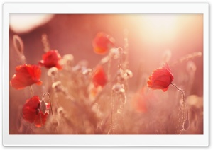 Late Summer Poppies HD Wide Wallpaper for Widescreen