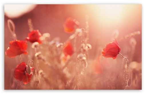 Late Summer Poppies ❤ 4K UHD Wallpaper for Wide 16:10 5:3 Widescreen WHXGA WQXGA WUXGA WXGA WGA ; 4K UHD 16:9 Ultra High Definition 2160p 1440p 1080p 900p 720p ; Standard 4:3 5:4 3:2 Fullscreen UXGA XGA SVGA QSXGA SXGA DVGA HVGA HQVGA ( Apple PowerBook G4 iPhone 4 3G 3GS iPod Touch ) ; Tablet 1:1 ; iPad 1/2/Mini ; Mobile 4:3 5:3 3:2 16:9 5:4 - UXGA XGA SVGA WGA DVGA HVGA HQVGA ( Apple PowerBook G4 iPhone 4 3G 3GS iPod Touch ) 2160p 1440p 1080p 900p 720p QSXGA SXGA ; Dual 16:10 5:3 16:9 4:3 5:4 WHXGA WQXGA WUXGA WXGA WGA 2160p 1440p 1080p 900p 720p UXGA XGA SVGA QSXGA SXGA ;