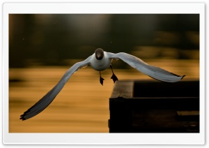 Laughing Gull Flying Ultra HD Wallpaper for 4K UHD Widescreen desktop, tablet & smartphone