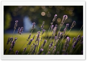 Lavander Bokeh HD Wide Wallpaper for Widescreen