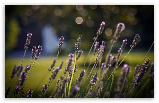 Lavander Bokeh HD wallpaper for Wide 16:10 5:3 Widescreen WHXGA WQXGA WUXGA WXGA WGA ; HD 16:9 High Definition WQHD QWXGA 1080p 900p 720p QHD nHD ; Standard 4:3 5:4 3:2 Fullscreen UXGA XGA SVGA QSXGA SXGA DVGA HVGA HQVGA devices ( Apple PowerBook G4 iPhone 4 3G 3GS iPod Touch ) ; Tablet 1:1 ; iPad 1/2/Mini ; Mobile 4:3 5:3 3:2 16:9 5:4 - UXGA XGA SVGA WGA DVGA HVGA HQVGA devices ( Apple PowerBook G4 iPhone 4 3G 3GS iPod Touch ) WQHD QWXGA 1080p 900p 720p QHD nHD QSXGA SXGA ; Dual 16:10 5:3 4:3 5:4 WHXGA WQXGA WUXGA WXGA WGA UXGA XGA SVGA QSXGA SXGA ;