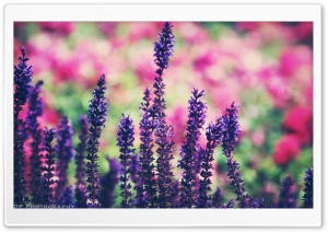 Lavender Ultra HD Wallpaper for 4K UHD Widescreen desktop, tablet & smartphone
