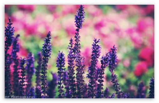 Lavender ❤ 4K UHD Wallpaper for Wide 16:10 5:3 Widescreen WHXGA WQXGA WUXGA WXGA WGA ; 4K UHD 16:9 Ultra High Definition 2160p 1440p 1080p 900p 720p ; Standard 4:3 5:4 3:2 Fullscreen UXGA XGA SVGA QSXGA SXGA DVGA HVGA HQVGA ( Apple PowerBook G4 iPhone 4 3G 3GS iPod Touch ) ; Tablet 1:1 ; iPad 1/2/Mini ; Mobile 4:3 5:3 3:2 16:9 5:4 - UXGA XGA SVGA WGA DVGA HVGA HQVGA ( Apple PowerBook G4 iPhone 4 3G 3GS iPod Touch ) 2160p 1440p 1080p 900p 720p QSXGA SXGA ;